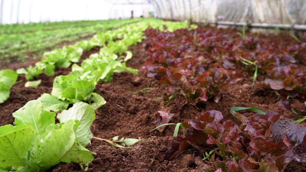 Blick über den Salat