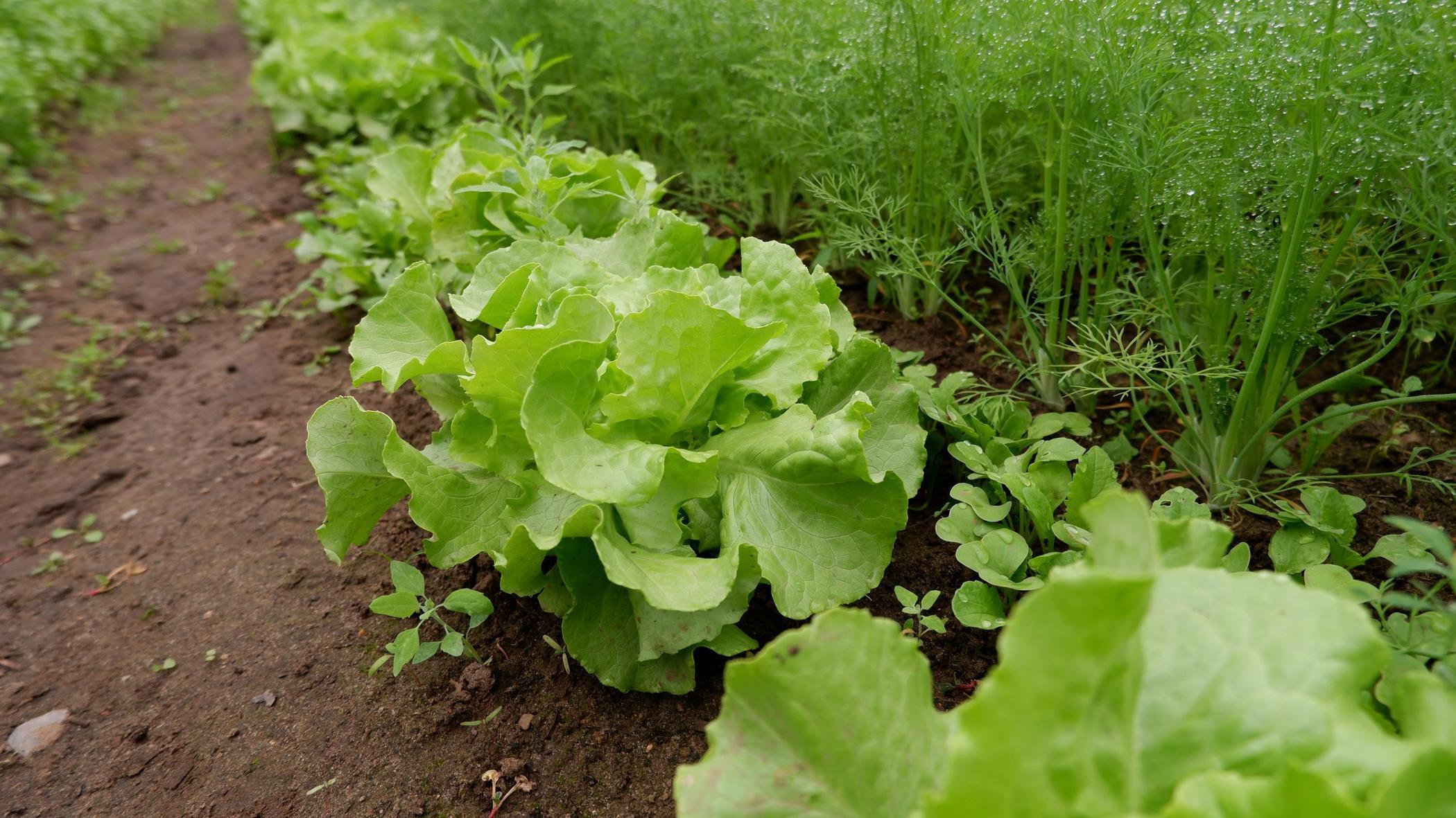 Salat neben Dill